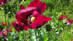 Mohn im Juli mit Biene